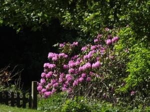 Garden_Rhododendron20x